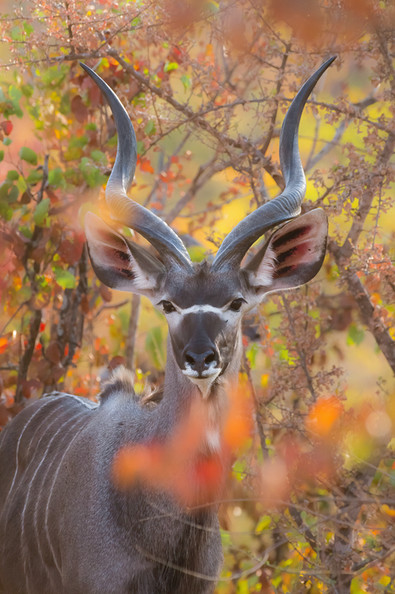 Kudu in Colours