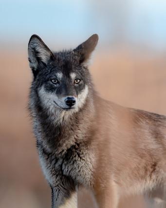 Black Coyote 3