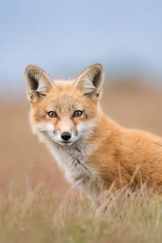 Pastel Fox Portrait