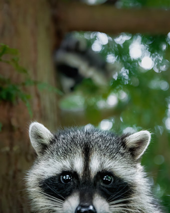 Raccoon Photo Bomb