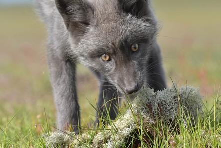 Fox & Lichen