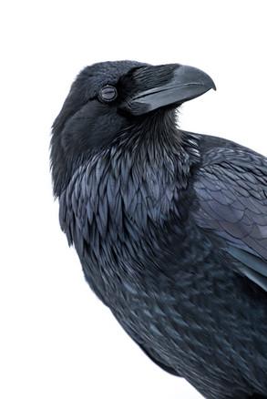 Raven Hi-Key Portrait