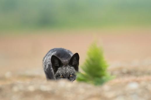 Fox Eyes & Fern