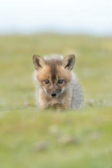 Fox Nugget