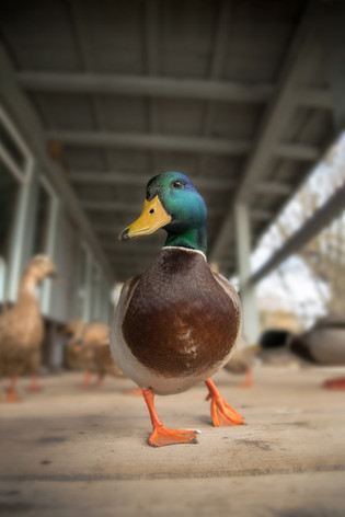 At Duck Level