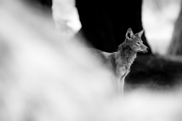 BW Coyote
