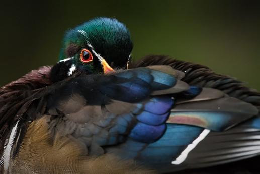 Wood Duck Eye
