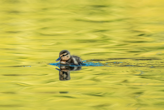 Duckling in Colours