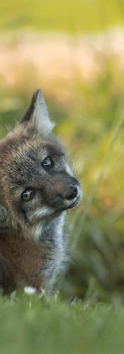 Fox Cute Scratch