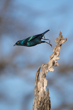 Starling Leap
