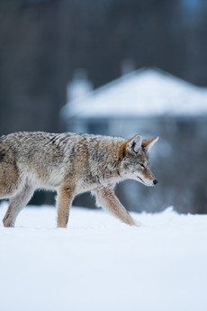 Urban Coyote in Snow
