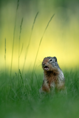 Squirrel Chirp