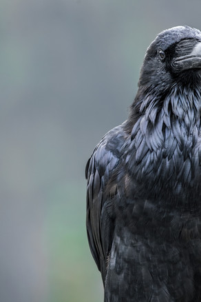 1/2 a Raven