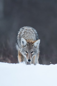 Incoming Coyote
