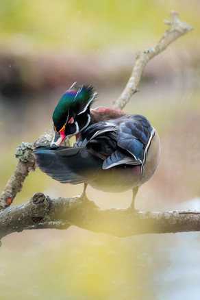 Rainbow Wood Duck