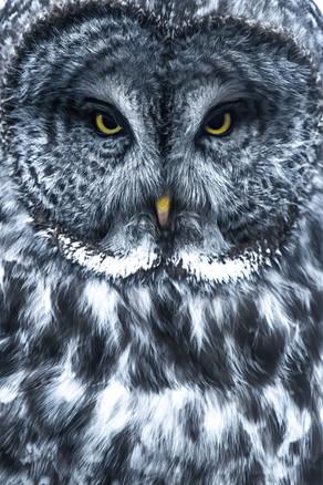 Great Grey Closeup