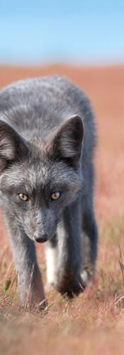 Grey Fox Incoming
