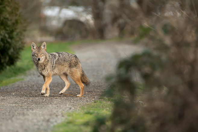 Trail Coyote