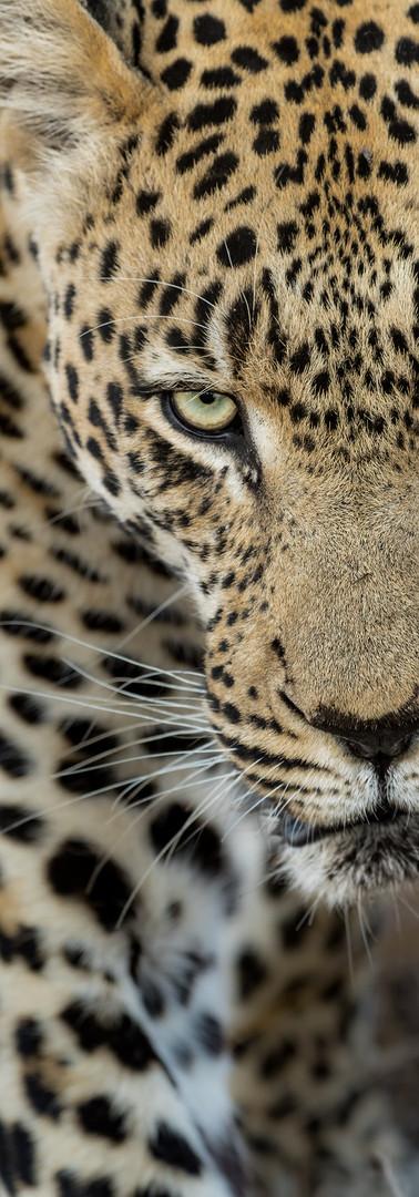 Leopard Closeup.jpg
