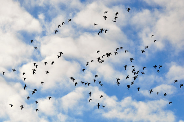 Snow Geese & Clouds