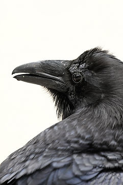 Raven Portrait.jpg