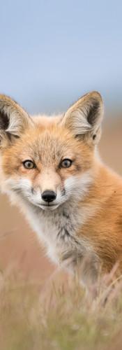 Pastel Fox