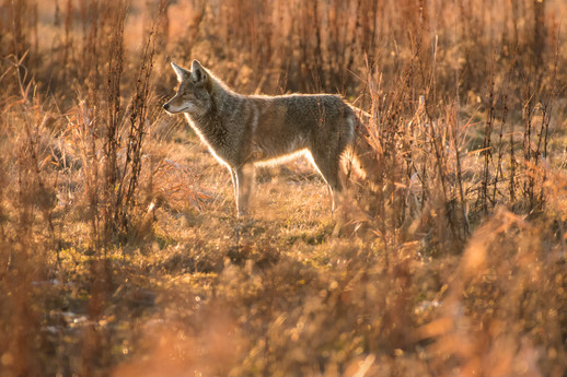 Backlit Coyote