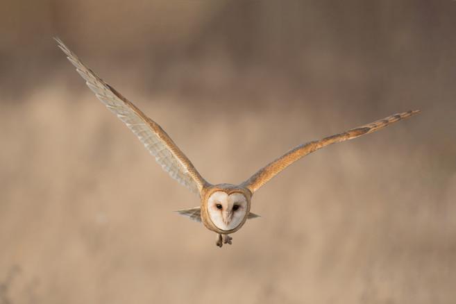 Incoming Barn Owl