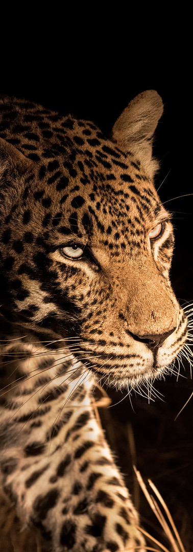 Night Leopard.jpg