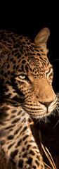 Night Leopard.jpg