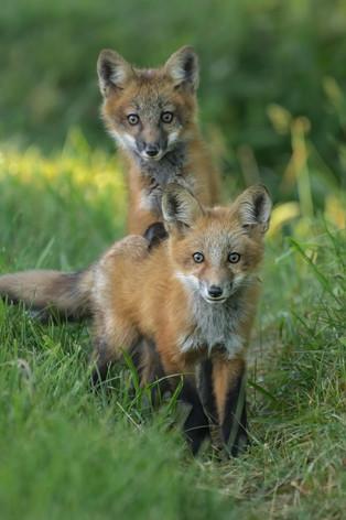 Fox Twins