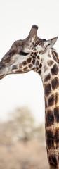 Giraffe Hi Key.jpg