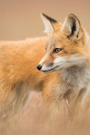 Fox Side Glance