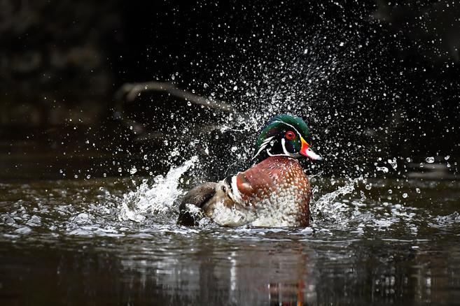 Wood Duck Splash