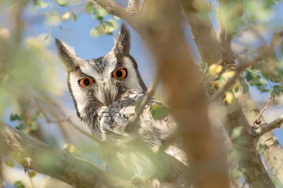 Scops Owl Eyes