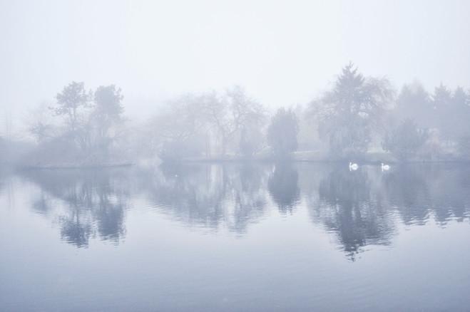 Foggy Swans