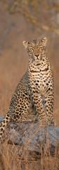 Leopard Waits.jpg