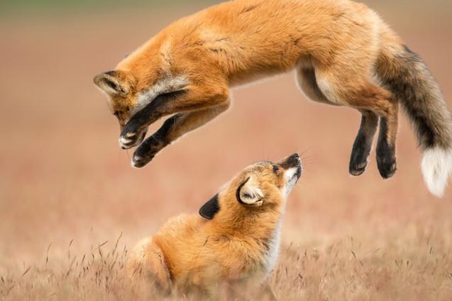 Leap Fox
