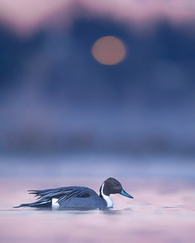 Pintail in Purple