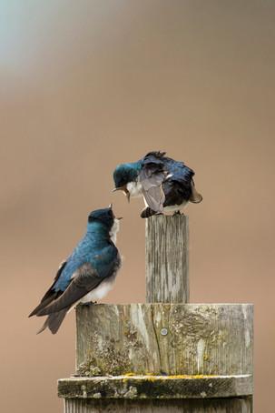 Swallow Spat