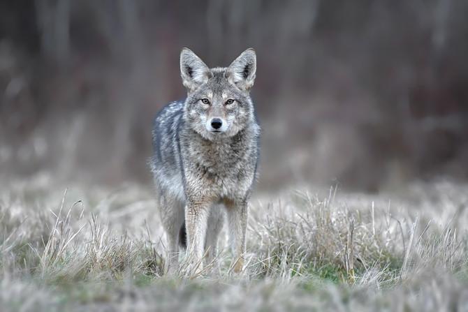 Grey Coyote