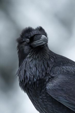 Raven Head Feathers