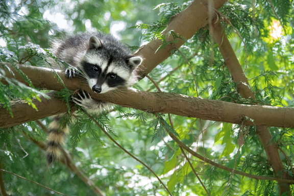 Raccoon Kit in Tree