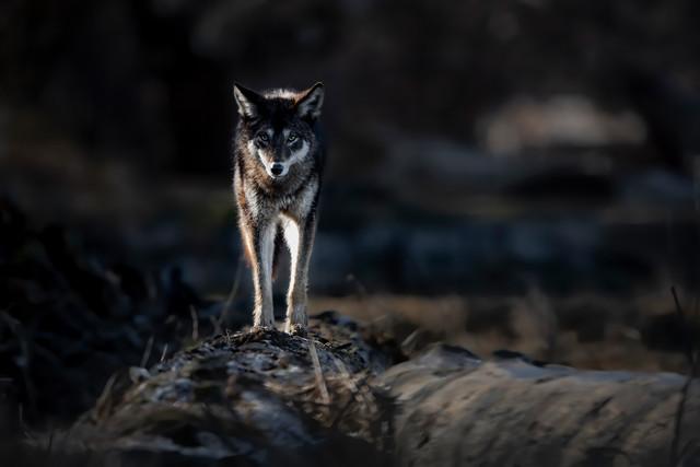 Black Coyote 2
