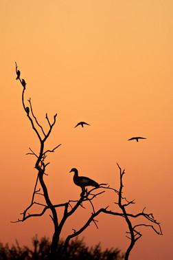 Egyptian Goose Sunset
