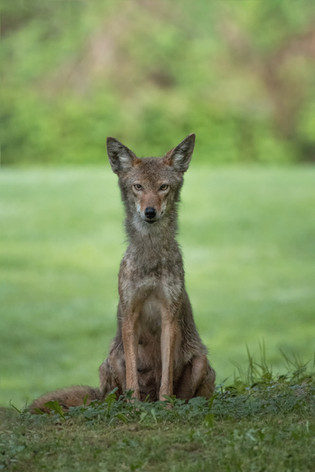 Coyote Mama