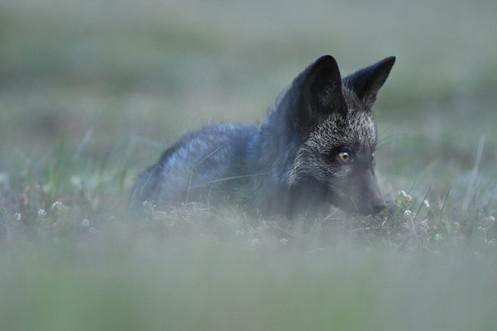 Silver Fox in Grass