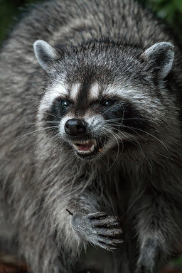 Raccoon Snarl