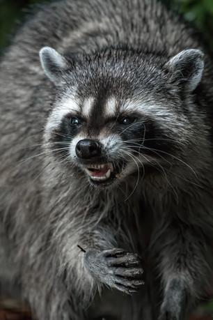 Raccoon Snarl