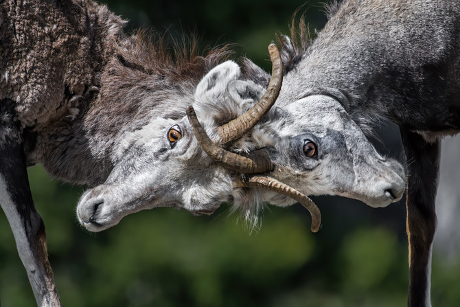 A '4 Element Photo' just named WINNER in the 2020 Canadian Geographic Wildlife Photography contest!